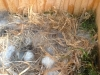 chickadee-eggs1