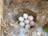 chickadee-eggs3