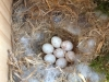 chickadee-eggs4
